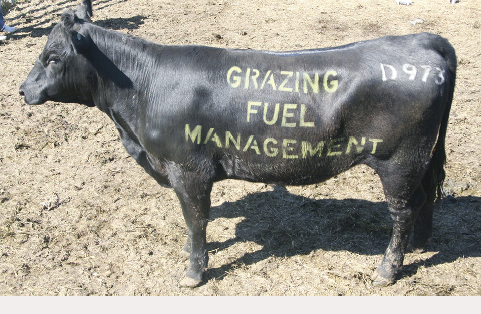 """A black cow with the words """"Grazing fuel management"""" stencilled onto its side."""